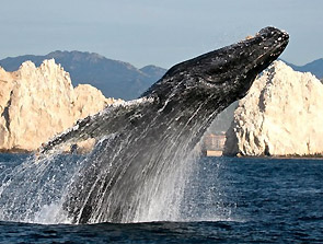 whale watching Los Cabos Mexico Baja California
