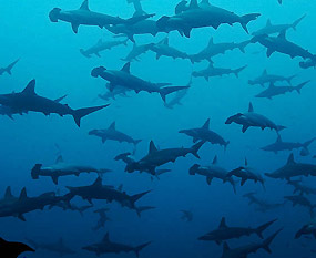 Sharks diving in the Sea of Cortez