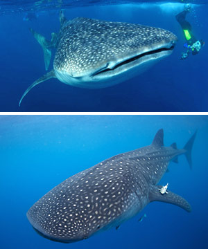 cabo adventures whale sharks