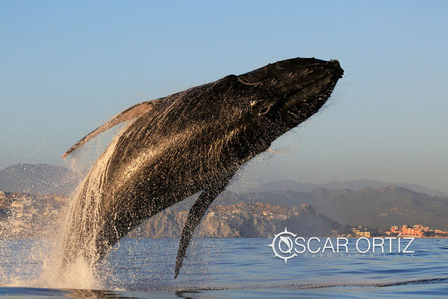 Whale watching in Los Cabos Mexico