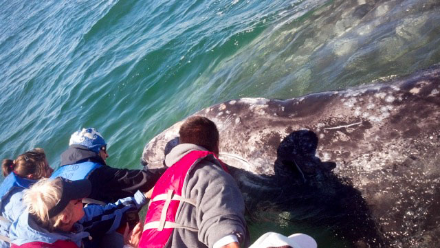 Baby gray whales in Baja
