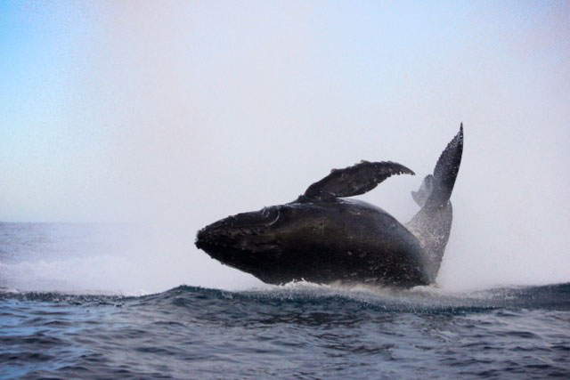 Humpback whale in Los Cabos, Mexico
