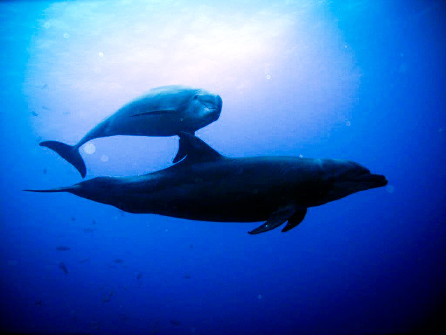 Dolphins in the Pacific Ocean at the Socorro Islands